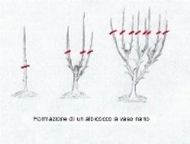 Potatura alberi frutto frutteto potatura albicocco for Quando piantare alberi da frutto