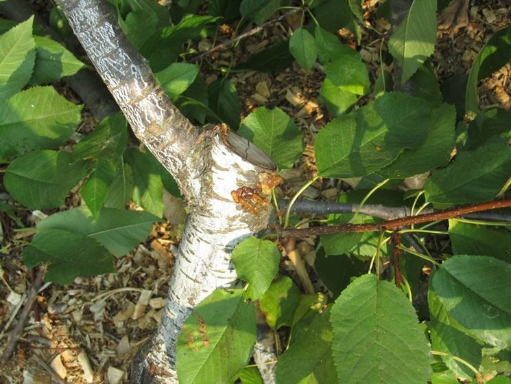 potatura albicocco
