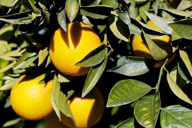arancio potatura