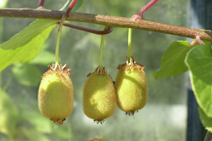 pianta kiwi
