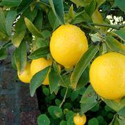 Albero limoni frutti