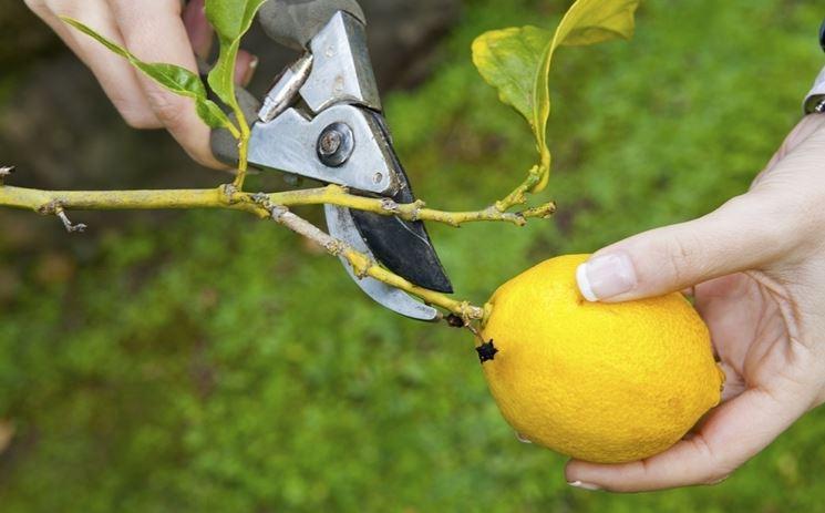 Fiore pianta limoni