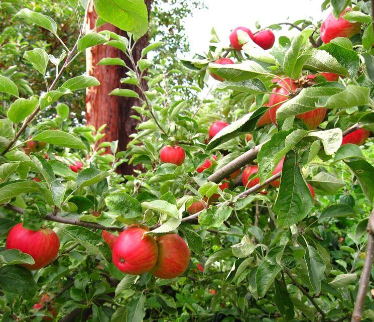 Piante Di Melo : Potatura melo frutteto come potare il