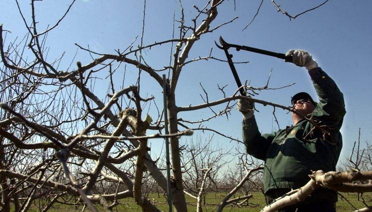potare le piante di melo