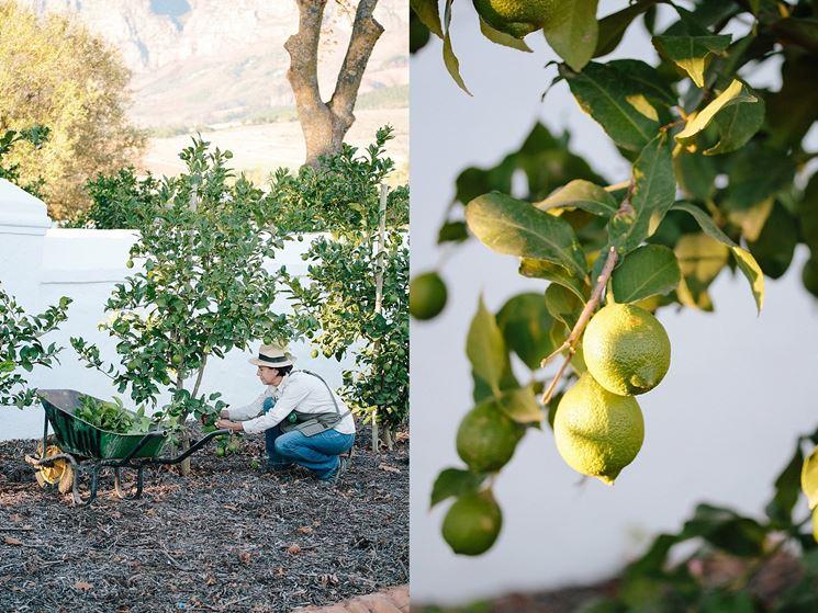 Quando potare limone frutteto potatura limone for Potatura limone periodo