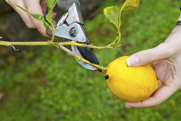 Raccolta limone