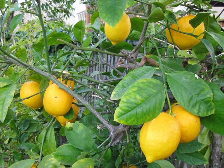 Foglie rami limone