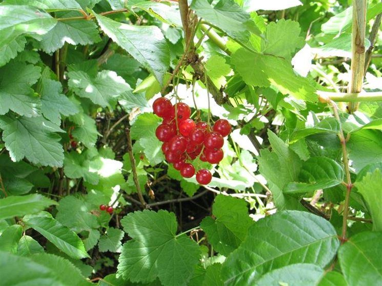 Frutti ribes rosso
