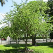 tamarindo pianta