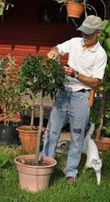 potatura ulivo in vaso
