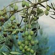 pianta ulivo