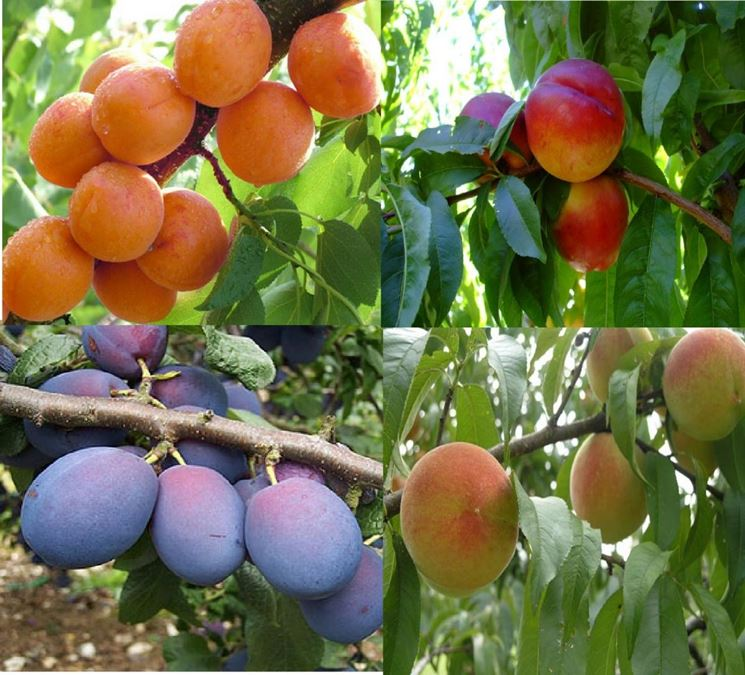 Vendita piante da frutto frutteto piante da frutto vendita for Piante vendita