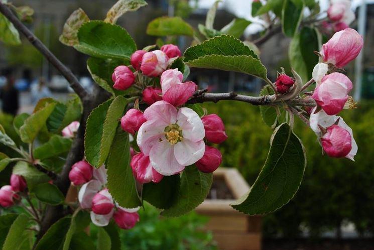 fiore melo