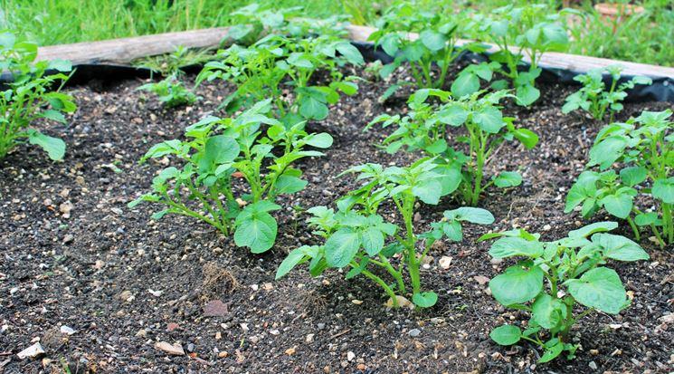 semine trapianti