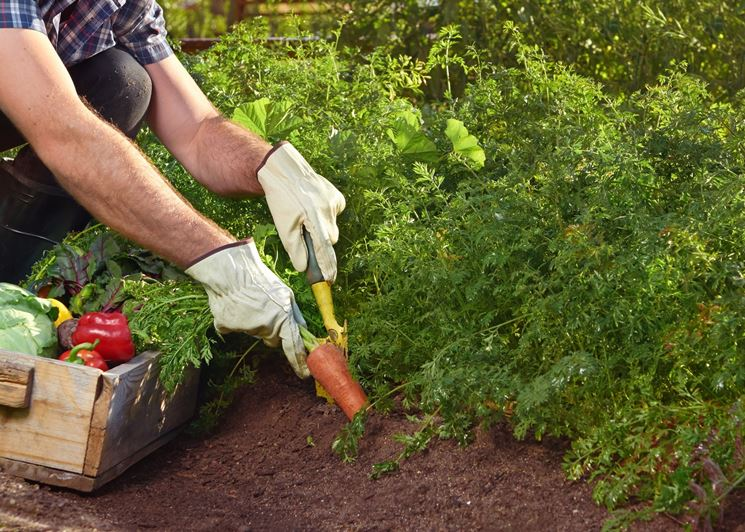 raccolta carote