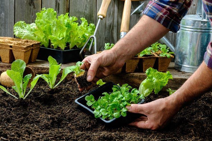 trapianti piante orto