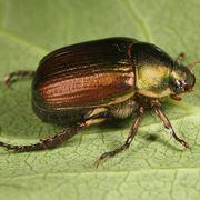 insetti della vite