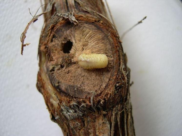 Larva di bostrico della vite
