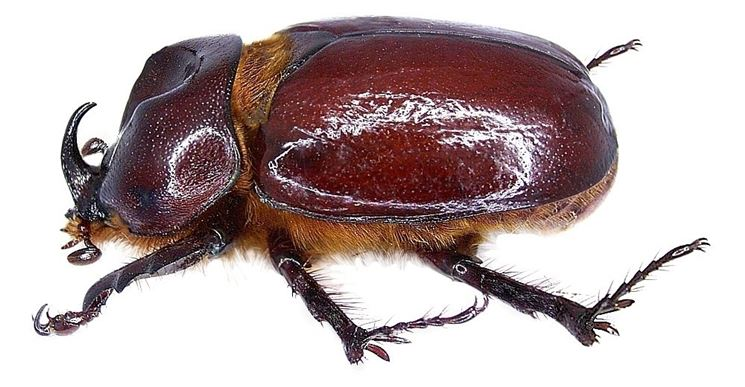 Adulto di scarabeo