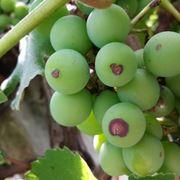 Antracnosi su grappolo
