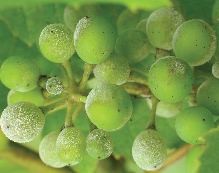 Lesioni da oidio su grappolo
