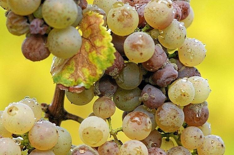 Botrite su grappolo