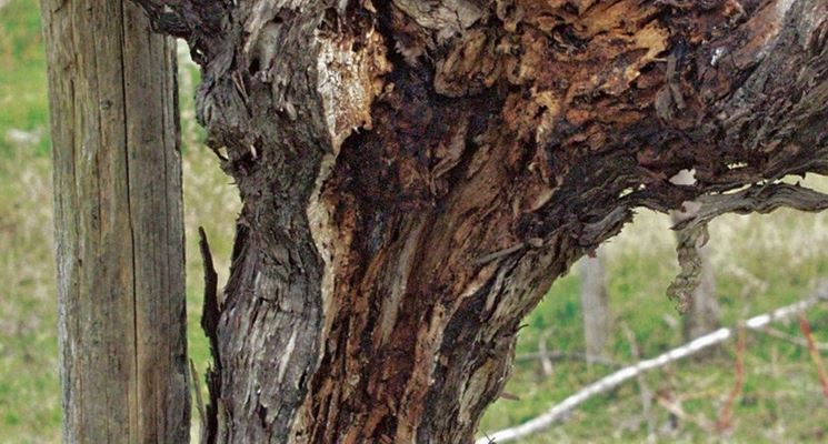 legno attaccato dal mal d'esca della vite