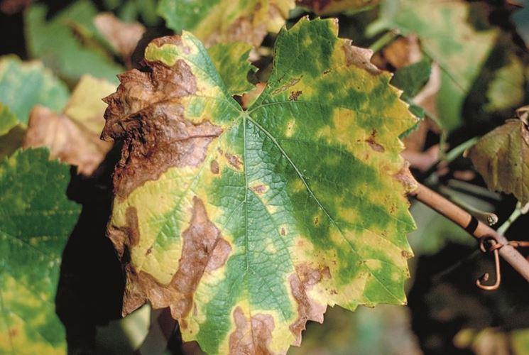 Esempio di danni visibili sulle foglie di vite