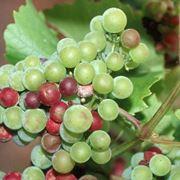 Plasmora viticola