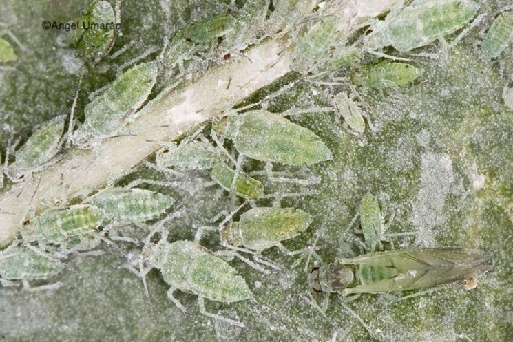 Hyalopterus amygdali