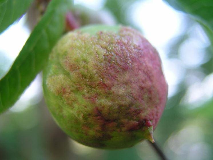 frutto colpito da bolla