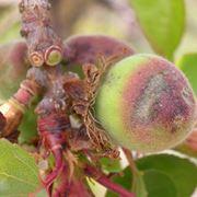 Sintomi di Corineo su frutti