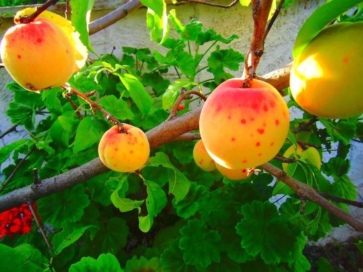 Impallinatura sui frutti