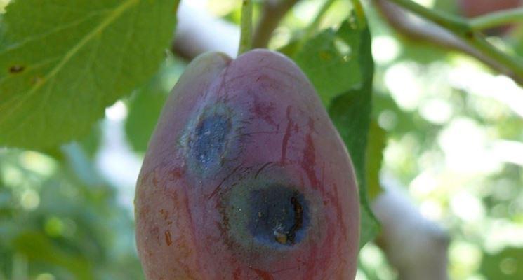 Xanthomonas arboricola nel susino