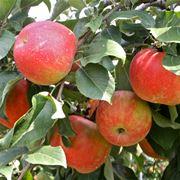Frutteto con alberi di mele