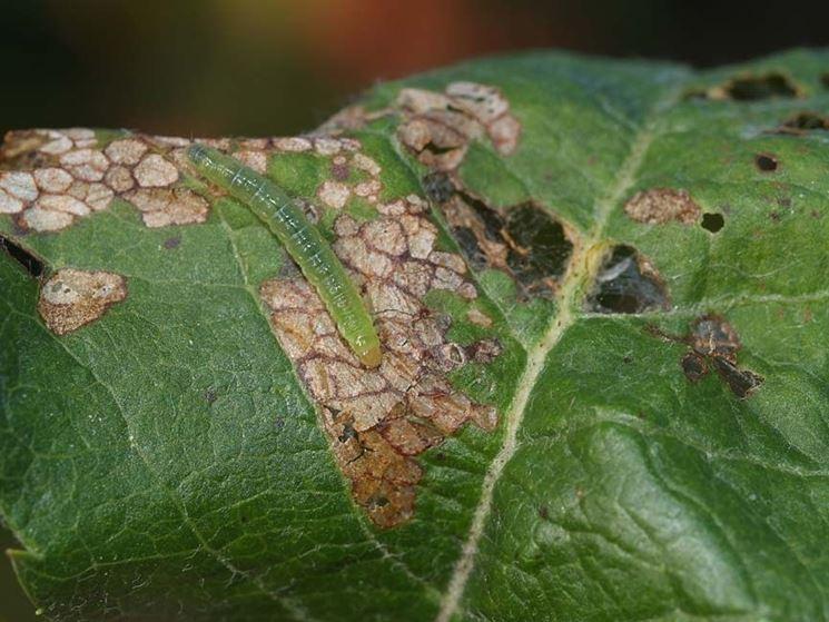 Larva di capua