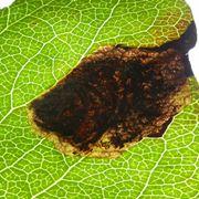 """Le """"mine"""" prodotte dalle larve del Cemiostoma"""