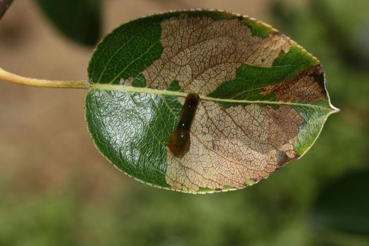 foglie danneggiate dalla limacina
