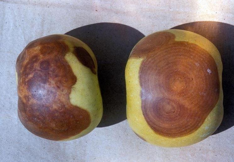 Frutti affetti da marciume del colletto