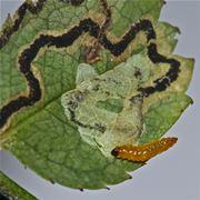Larva di Nepticula del melo