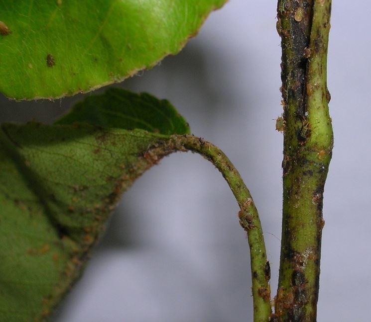 Danni provocati dagli insetti di Psilla
