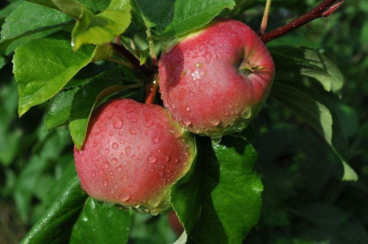 frutto del melo