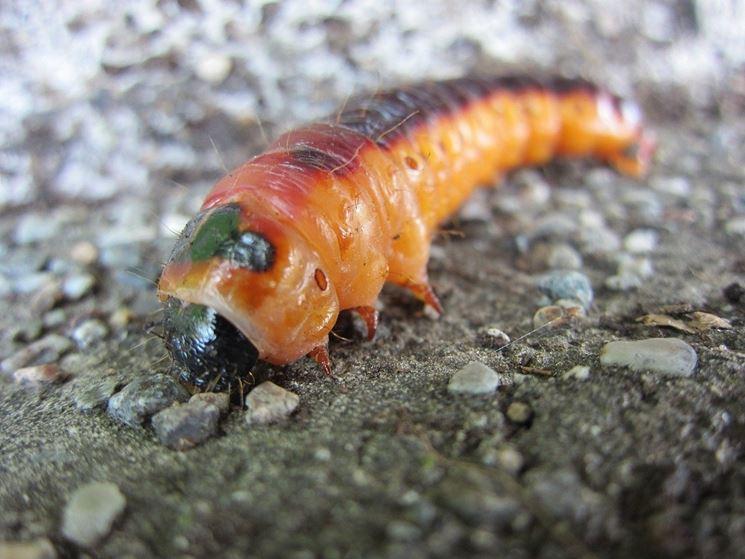 Larva di <strong>rodilegno</strong> rosso