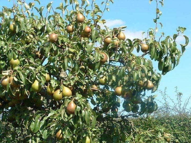 Tentredine o oplocampa del pero malattie melo e pero for Potatura del melo