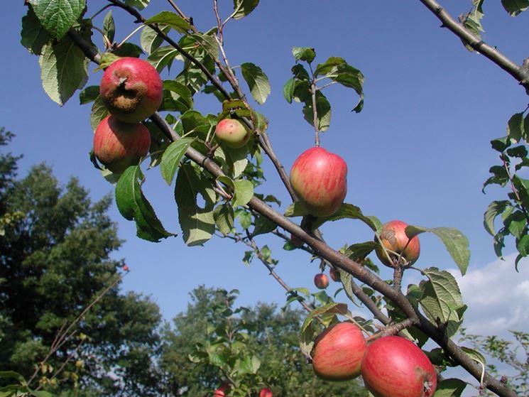 pianta del melo