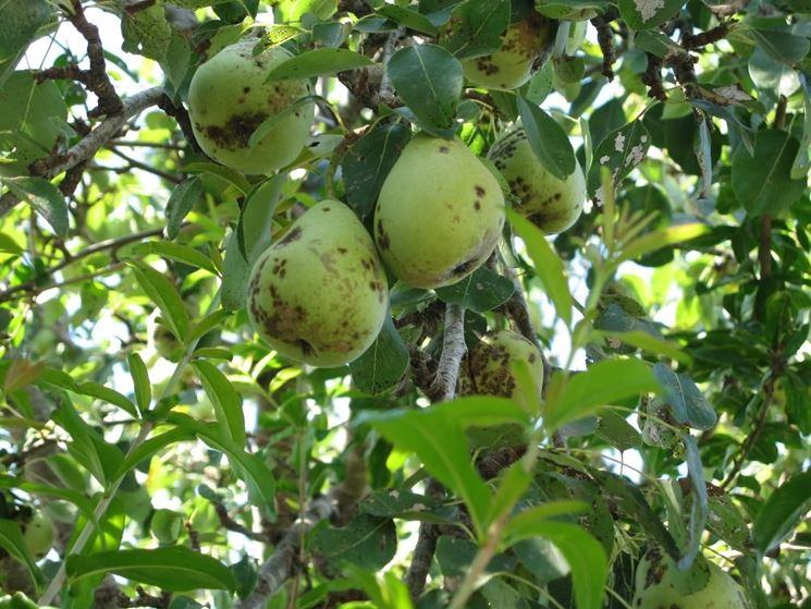 Ticchiolatura su rami, frutti e foglie