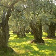 Grandi alberi di olivo