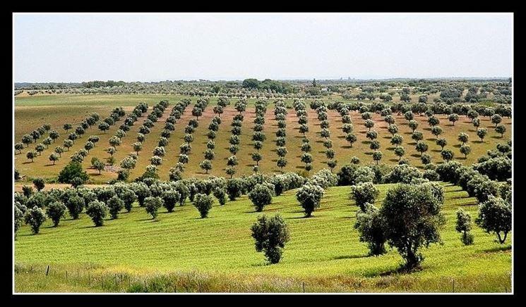 Un vasto oliveto in Grecia