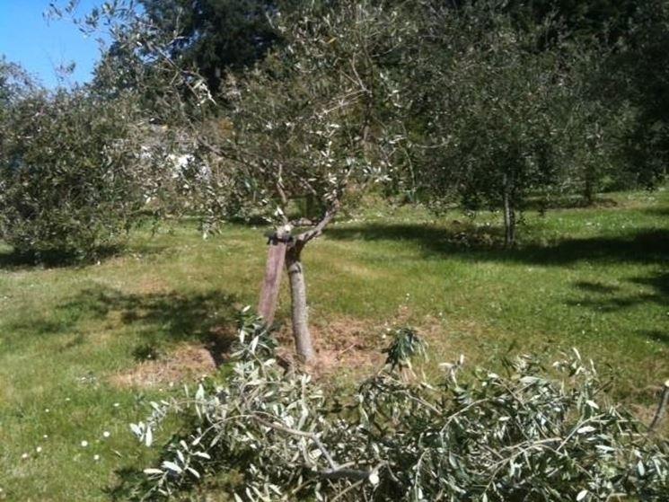 Operazioni di potatura di olivi