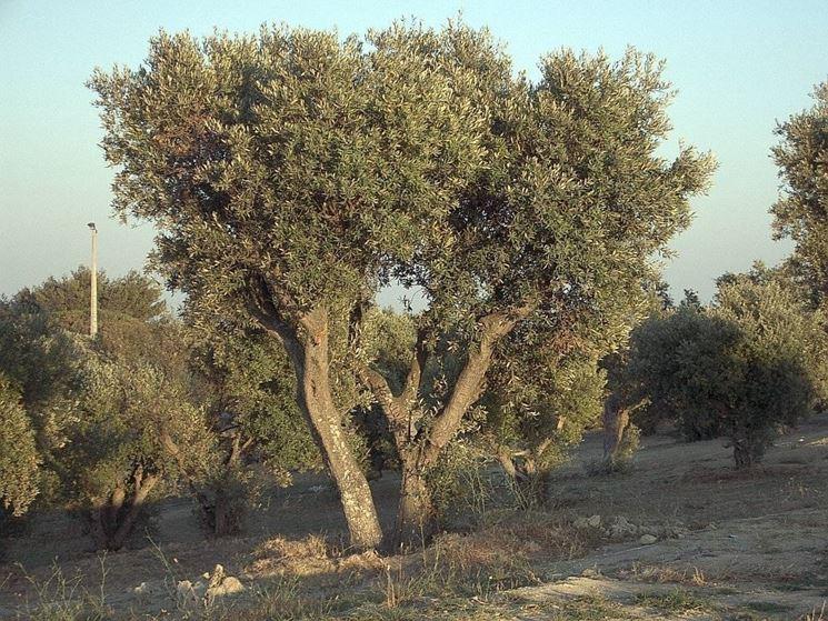 Un esemplare di olivo ascolano